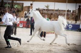 مقتطفات من بطولة كأس منتجي الخيل العربية الثالثة لجمال الخيول العربية ٢٠١٤