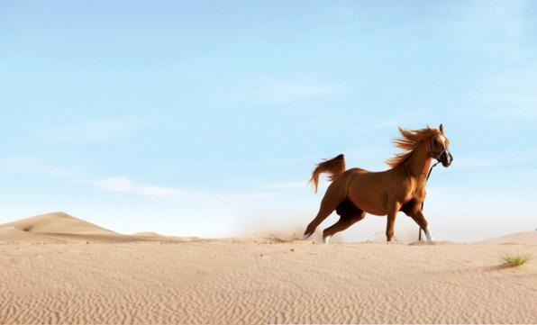 السماح للكويت بتصدير الخيول