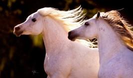 مركز أبحاث الخيول بدبي ينظم الدورة العلمية الثانية