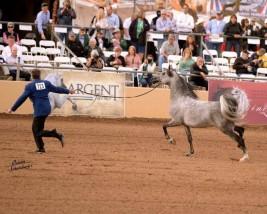 بطولة «سكوتسديل» بأميركا تعد الأعرق في عالم الخيول العربية منذ ١٩٥٥م