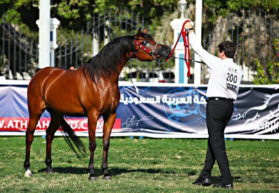 فرس لمربط عجمان مشاركة في بطولة ابوظبي ٢٠١٢
