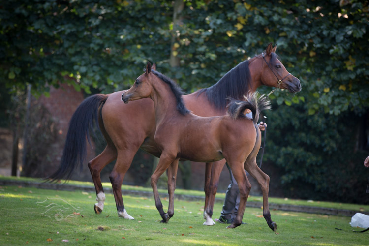 الحصان العربي الاصيل والحصان البربري SSS_1142.jpg