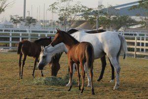 """""""الزراعة البحرينية"""" ترصد وقائع تزوير في اختام تحصينات احد اسطبلات الخيول وتقرر تجميد نشاطه التصديري"""