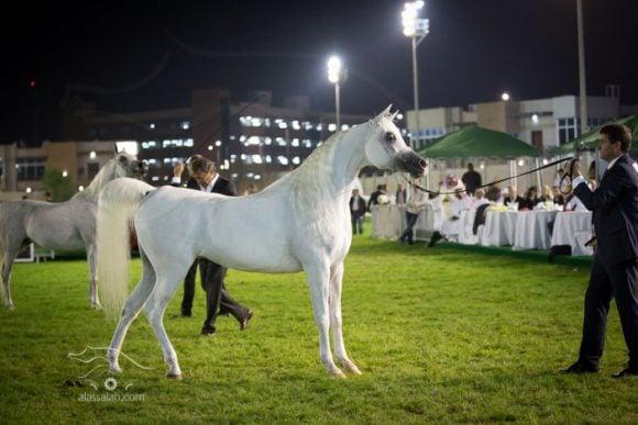 بدويه بطولة ابوظبي الدولية لجمال الخيل العربية ٢٠١٤