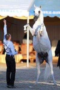 تنطلق غداً منافسات «الكويت» الدولية الرابعة لجمال الخيل العربية بـ ٥٦٥ جواداً