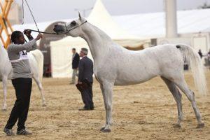 بطولة قطر الوطنية  السابعة عشرة لجمال الخيل العربية  تنطلق اليوم