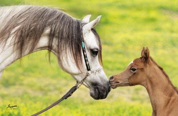 المؤتمر الدولي للخيول يطالب بـ « نقل الأجنة » لحماية الجواد العربي في العالم