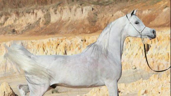 اليوم افتتاح المعرض الدولي الرابع للخيل والإبل والتراث ( أصايل عمانية )