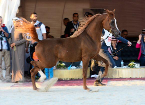 ناصر بن حمد يوجه لإقامة بطولة فيصل بن حمد السادسة بالبحرين لجمال الخيل العربية