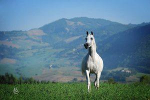 مؤسسة الحصان العربي (الأمريكية) تعلن عن ذهاب 11,000 دولارا أمريكيا من أموالها المخصصة لتمويل أبحاث الخيل إلى عدة مشاريع