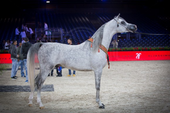 E.S. HARIR (AJ DINAR x TF MAGNUMS MAGIC) – AL SAQRAN ARABIANS – KW