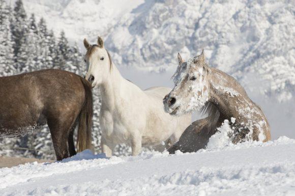 لفحة الصقيع القاسية! والخيول