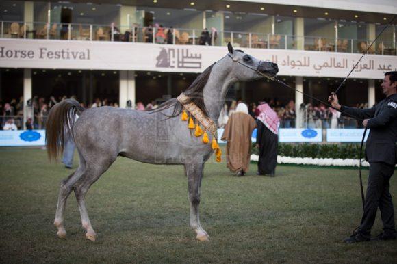 بدء التسجيل في مهرجان الأمير سلطان بن عبدالعزيز 2019 العالمي للجواد العربي