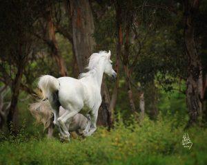خيل لا تحمل رزقها.. الله يرزقها – تغذية الخيول