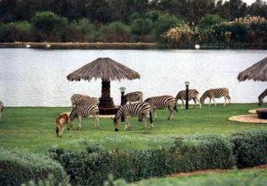 Khalidiya-farm-zebra