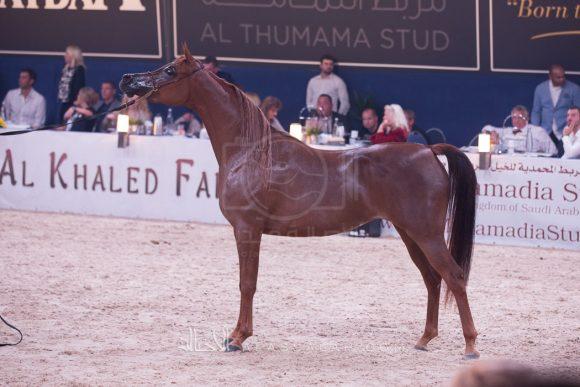 إيلي فلامينكا (عجمان مونسشن x الامارا) مربط دبي – الامارات