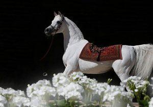 الخيول المصرية – اتجاهات العوائل وتأثيرات الطلائق – الجزء الثالث – الفحل الأكثر تأثيراً!