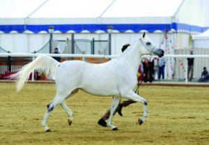 الخيالة السلطانية تنظم بطولة عمان المحلية لجمال الخيل العربي