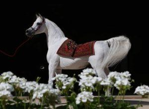 المرزوقي: «أنساتا حجازي» أحدث تأثيراً في مسيرة الخيل العربية