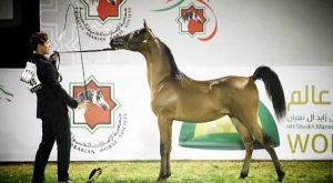 اختتام البطولة الوطنية لجمعية الإمارات للخيول العربية ٢٠١٧ – النتائج النهائية