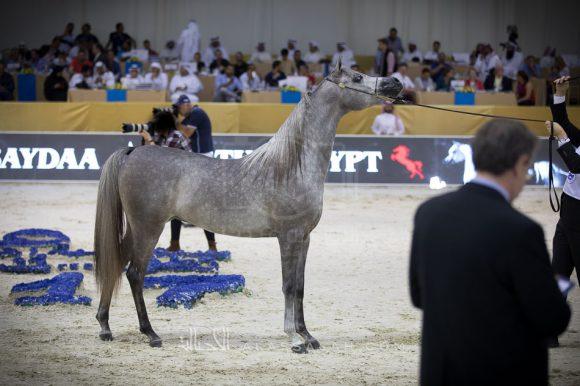 دي عجايب (آر أف آي فريد x ليدي فيرونيكا) مربط دبي – الإمارات