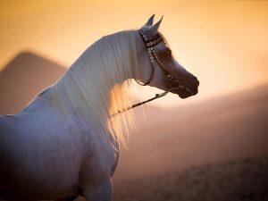توجيهات رئاسية في مصر بإنشاء مدينة عالمية لإنتاج وتطوير الخيول العربية