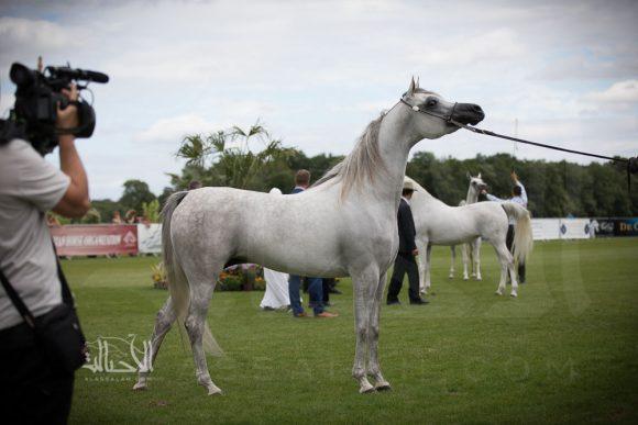 بنت هازي الخالدية (البلاسيو فو x هاذي الخالدية) مربط الأوراسية - البحرين
