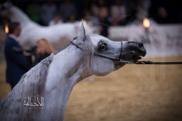 بنت هازي الخالدية (البلاشيو فو x هازي الخالدية) مربط الأوراسية – السعودية