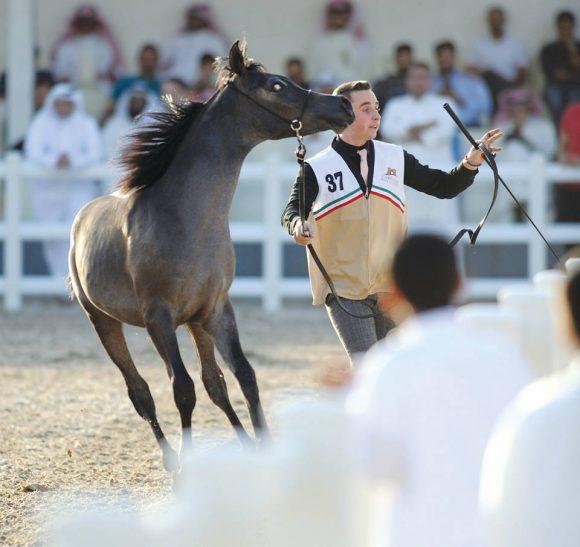 اختتام بطولة الكويت للسلالة المصرية 2017 في نسختها الثالثة – النتائج النهائية