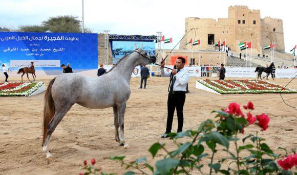 بطولة الفجيرة لجمال الخيول العربية تختتم اليوم