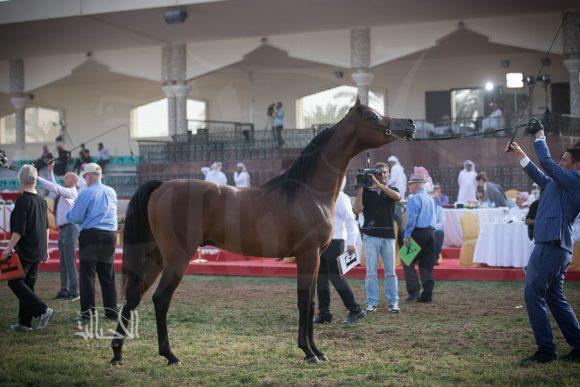دي ابن رشيم (اف ايه الرشيم x انجليكة) مربط دبي – الإمارات
