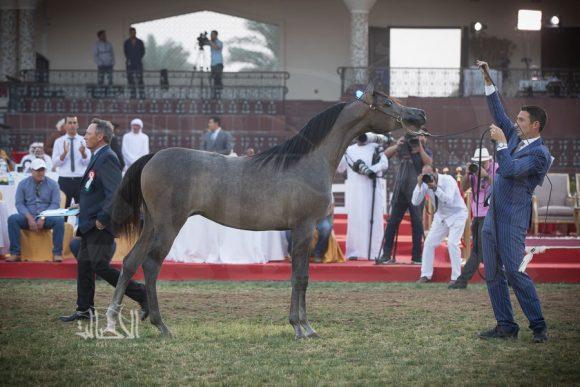 دي شيهانة (اف ايه الرشيم x دي شهلاء) مربط دبي – الإمارات
