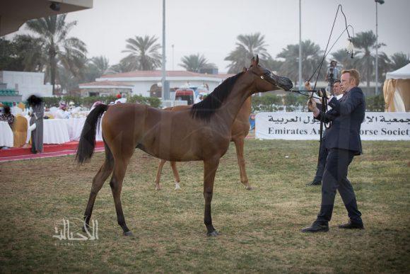 : الأريام سمحة (كحيل الشقب x جيه جيه سالينا) مربط الاريام – الإمارات