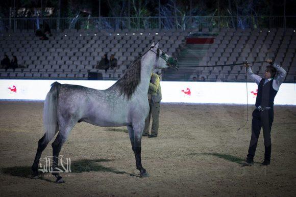 الفضة: اتش اف سنتياجو دي ماجنيفكو (ماجيك ماجنيفكو x غزالس سيرينا) مربط عاديات العجلان – السعودية