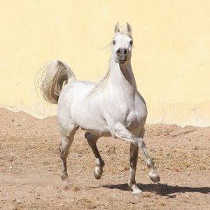 تربية الخيول في مصر تصطدم بقيود التصدير وقصور الرعاية