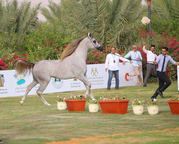 النتائج النهائية لبطولة القصيم الثانية لجمال الخيل العربية ٢٠١٨