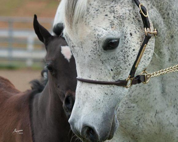 المسائل القانونية للاستنساخ ونقل الأجنة في الخيول