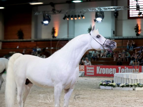 Silver - sen. Stallion