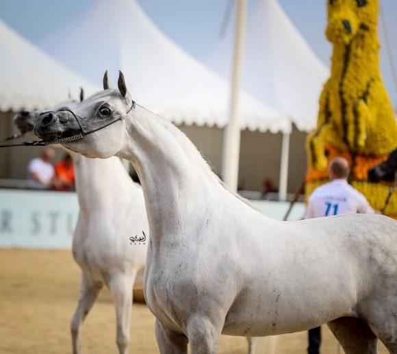 بنت هازي الخالدية (البلاسيو في او x هازي الخالدية) مربط الخشاب – الكويت