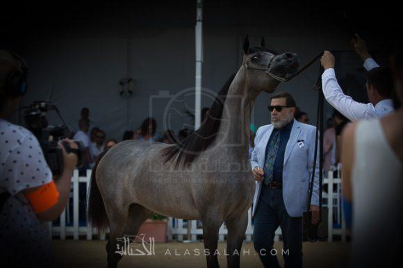 دي شيهانة (اف ايه الرشيم x دي شهلة) مربط دبي – الإمارات.