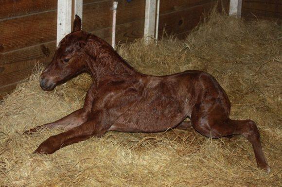 الاضطرابات الوراثية حسب السلالات في الخيول