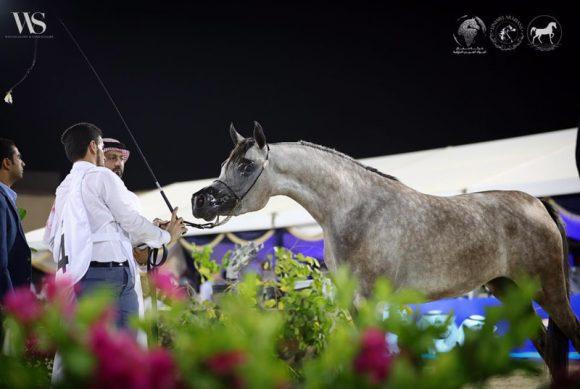 النتائج النهائية لبطولة جدة لجمال الخيل العربية الأصيلة 2018