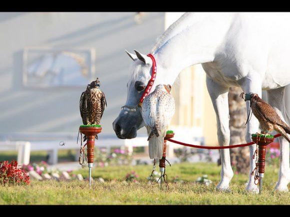 العديد الشقب al adeed al shaqab273P6919-Aadeed-&-falcons-3