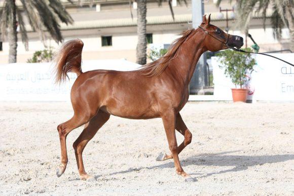 النتائج النهائية لبطولة الإمارات لمربي الخيول العربي 2018