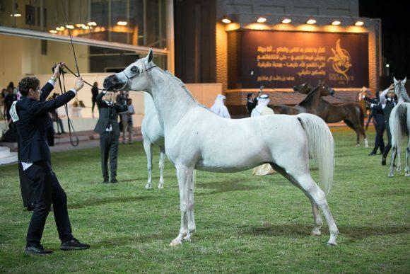 بروساريا (كابستزاد x بروسنا) مربط يوسف احمد ال علي