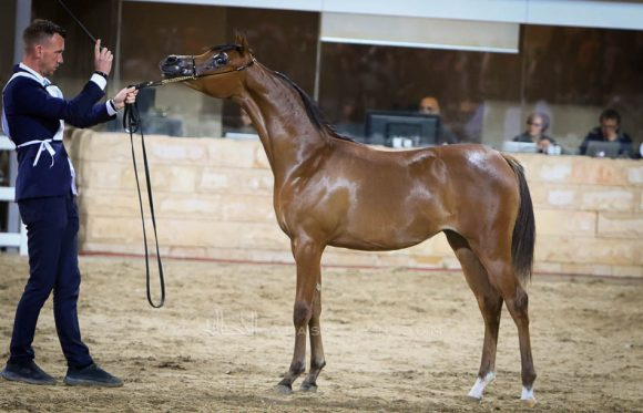 bronze Y Filly