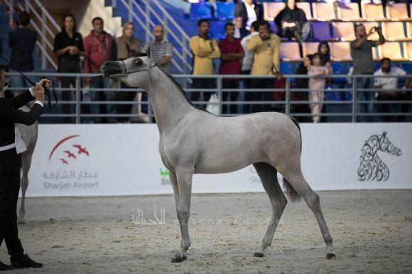 طفله الزبير (اس.ام.اي.ماجيك وان x إموزيوني الفنتور) مربط الزبير- الإمارات