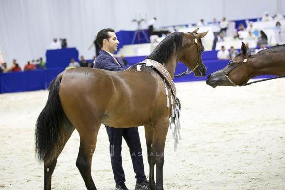 دي شخاط (دي خطاف   xدي شيرين) مربط دبي – الإمارات. D Shakhat (D Khattaf x D Shireen) Dubai Arabian Horse Stud- UAE
