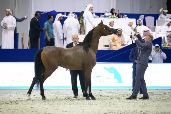 ادميرال (اميرالد x  هنايا) مربط عجمان – الإمارات. Admiraal (Emerald J x Haniyyah) Ajman Stud- UAE