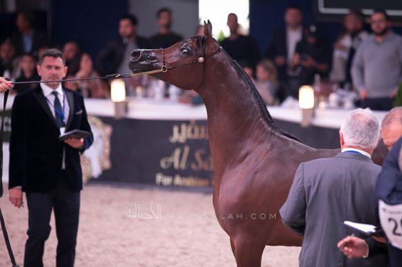 الفضة: فام دونتيلا (دومنيك ام x دي كريستال مون) مربط الجواهر- الإمارات.